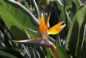 Paradiesvogelblume Strelitzia reginae Pflanze 5-10cm Papageienblume Strelitzie