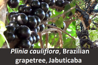 Jaboticaba Plant, Plinia cauliflora, the Brazilian Grapetree, Exotic Fruit Plant