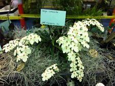 BIN- Aerangis luteo-alba var. rhodosticta! Miniature! Easy to grow! BloomingSize