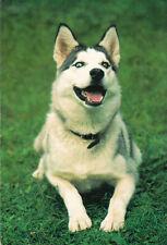 Polarhund * Schlittenhund * Husky * Malamute *  Dog  * Postkarte  Postcard  # 24