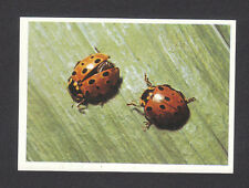 Ladybugs  - Vintage Insect Collector Card from Italy