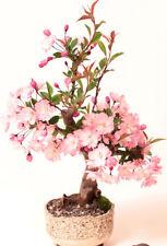 Pink Cherry Blossom Sakura Seeds Bonsai Perennial Tree Flower Seeds 15 Seeds
