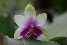 Rare orchid hybrid (bloom size) - Phalaenopsis bellina