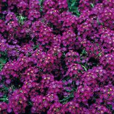 100 Alyssum Seeds Wonderland Deep Purple Ground Cover