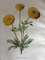 ANTIQUE PRINT C1900 DOUBLE BUTTERCUP GARDEN FLOWERS BOTANY BOTANICAL FLOWER ART