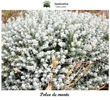Felty germander - Teucrium Polium - 100 Seeds