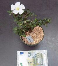 Sarcocaulon vanderietiae (Monsonia)cm. 12/13 NO KAKTEEN ARIOCARPUS  pelargonium