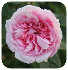 Alba Rose Bare Root Plant 'Queen of Denmark' Scented Pink 'Old English Rose'