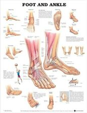 ANATOMY OF FOOT AND ANKLE (LAMINATED) POSTER (66x51cm) ANATOMY CHART HUMAN BODY