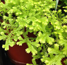 SELAGINELLA GOLD popular mossy plant with dainty fern-like leaves in 120mm pot
