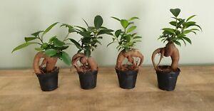Baby Ficus Ginseng | Bonsai Tree | Wholesale Options | Terrarium House Plant