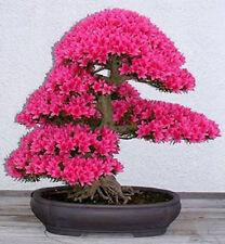 10 Semillas  japonés sakura bonsai flores de cerezo