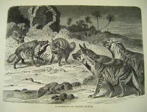 Original Antique Wood Engraved Print ~ ''A Gathering of Striped Hyenas'' c1889