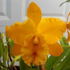 Orchid Cattleya Blc Liah Her Glory Her-Ta Exotic Tropical Plant