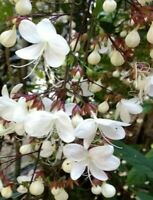 Clerodendrum smithianum Chains of Glory or Lightbulb Quart Plant