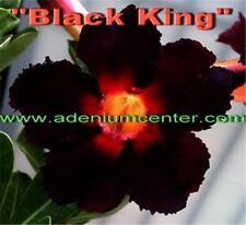 """Adenium Obesum Desert Rose """" BLACK KING """" 20 Seeds FRESH. BLACK FLOWER BEST DEAL"""