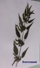 Brennnessel (Urtica), Heilpflanze, für Herbarium, Brennnesselgewächse