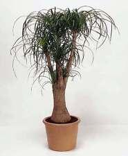 Ponytail Plant - 20 Seeds - Beaucarnea recurvata