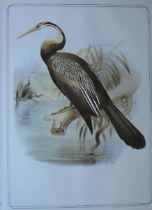 BEAUTIFUL BIRD PRINT ~ SNAKE BIRD ~ JOSEPH SMIT