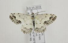 Scopula decorata Geometridae moth from Kazakhstan, pinned