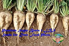 Premium Sugar Beets 1LB. Seeds Deer Food Plots Excellent By Old Cobblers Farm