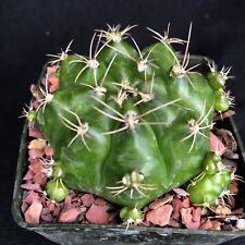 Gymnocalycium anisitsii v. multiproliferum, cactus plant