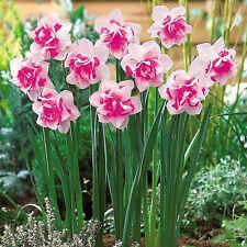 Daffodil Plant Flower bulbs