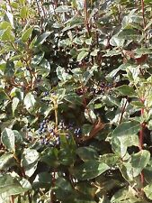 50 semi viburno tino VIBURNUM TINUS (laurotino o lentaggine)