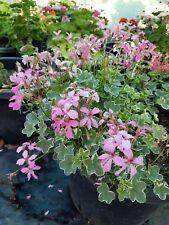 "GERANIUM IVY LEAF PINK PLANT $7      ""POSTAGE""ANY 3 PLANTS $8.00"