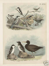Bird Wood Pecker Blue Jay Gnat Catcher Guillemot 1881