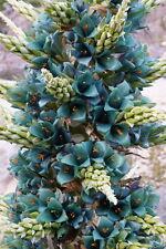 PUYA BERTERONIANA flores increibles 10 semillas seeds