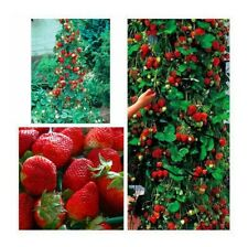600 PCS Climbing Strawberry Seeds Organic Fruit Tree Seed Sweet Giant Potted