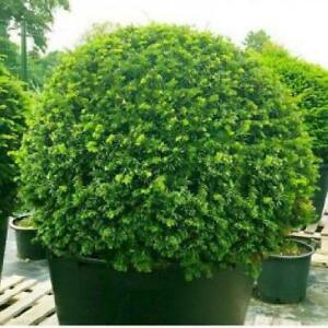 Large English Yew Topiary Ball - Taxus Baccata - Ball Diameter Approx 40cm