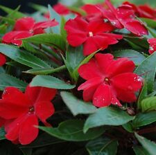 NEW GUINEA RED Impatiens hawkeri mass red flowers plants - 4cell seedling punnet