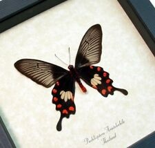 Real Framed Pachlioptera Aristolochile Rare Black/Red Swallowtail Butterfly 382