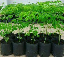 Moringa seed 1000+ Semillas de Moringa 1000+ FRESH MORINGA SEEDS ORGANIC