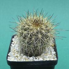 Eriosyce lurida FK 3, 4,5 cm planta grande, cactus cactus (2509)