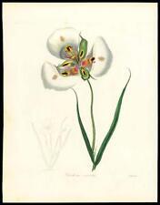 "1837 Original Antique HAND COLOURED Botanical Print ""CALOCHORTUS VENUSTUS"" (91)"