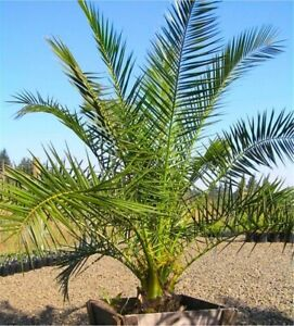 Large Hardy Phoenix canariensis Date Palm 180-210cm tall Garden Outdoor