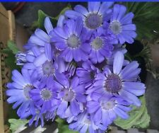 Pack of 50 fresh Seeds Rare Blue Chrysanthemum Mosquito Repelling Flower
