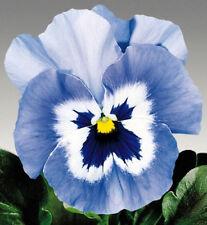 Stiefmütterchen Viola Joker hellblau zweijährig Höhe 15 cm Samen