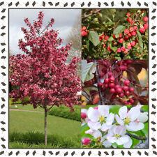 Malus, Crab Apple tree (10+ viable seeds per package)