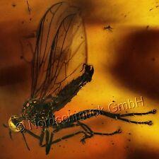 Bernstein Inkluse Inklusen Einschluss Insekt Tanzfliege und Fadenwurm IN217