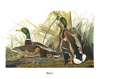 "1978 Vintage AUDUBON BIRDS ""MALLARD DUCK"" Color Art JUMBO Lithograph"