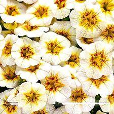 100 Rare Superbells Frostfire Calibrachoa Petunia Annual Flower Seeds