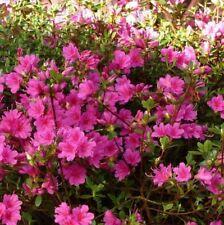 AZALEA AMOENA - lilac pink 1.5 litre
