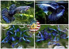 1 PAIR - Live Aquarium Guppy Fish High Quality - Purple Dragon - USA Seller