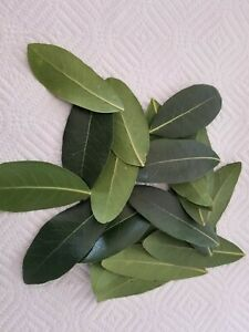 Freshly picked California Bay Leaves - Organic (no pesticides, approx.15 leaves)