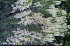 """5 Semillas Salvia MOSCATEL,blanco flores,salvia sclarea """"VATICANO Blanco """"# 693"""