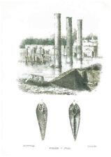 """Litografia Conchiglie """"Foladi"""" R. Petraroja 1863/1879"""